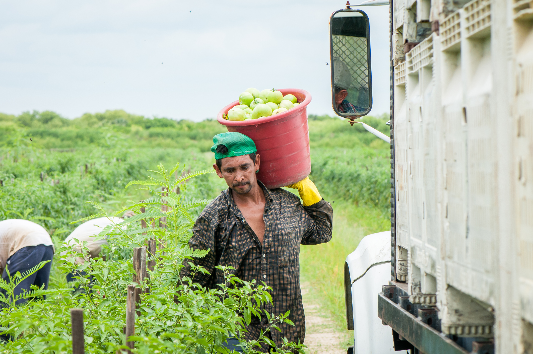 Migrant farm worker carrying a bucket of fruits on one shoulder in a field